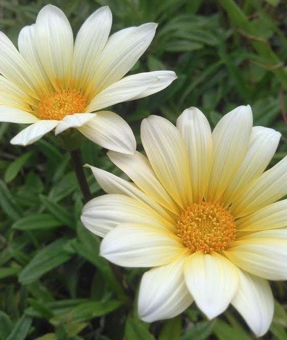 ガーベラっぽいお花正方形