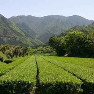 屋久島茶畑