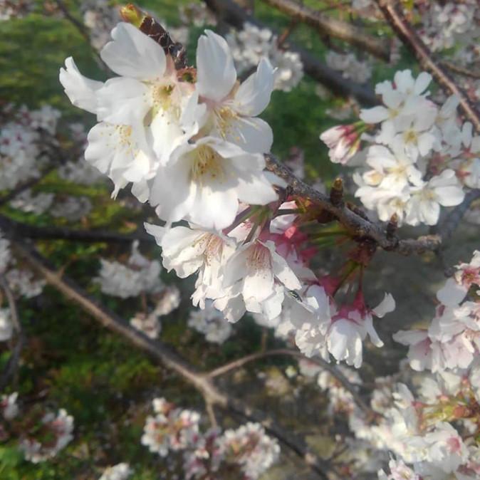 やまんこの桜