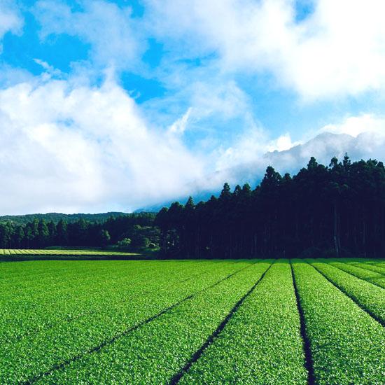 杉林と茶畑1
